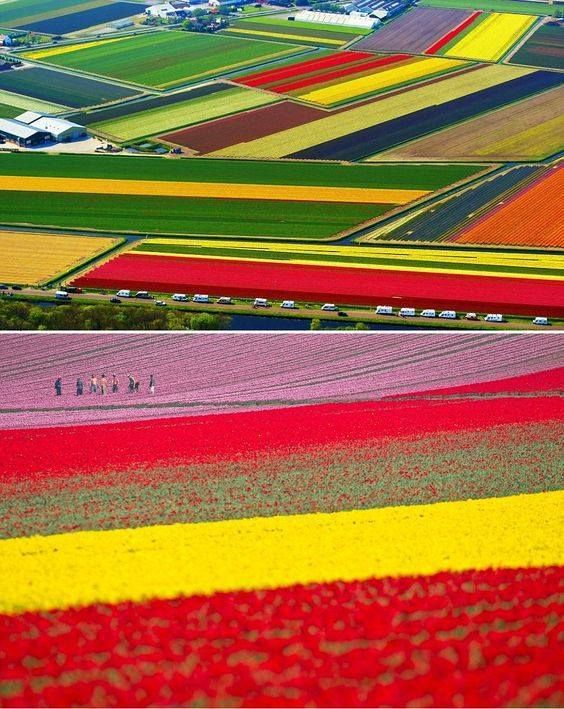 Lalele Olanda