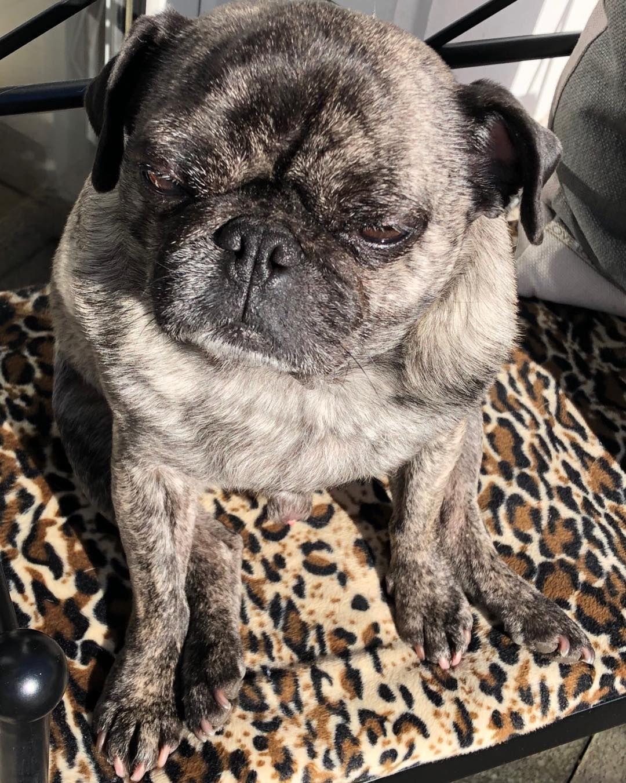 Leopold Brindle Pug Chillen Pug In 2019 Brindle Pug Pugs