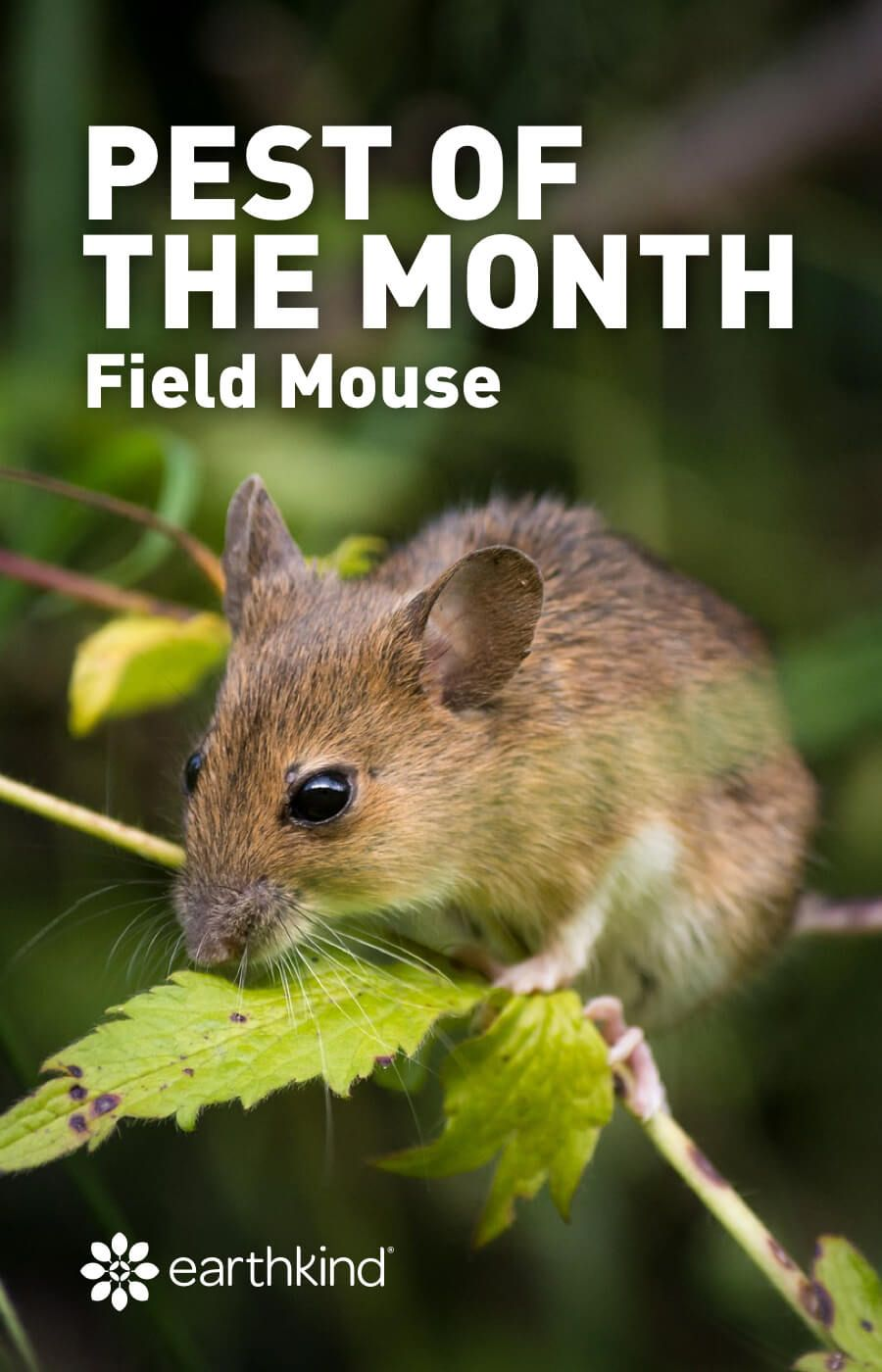 Pest of the Month: The Field Mouse. Making His Way To A Home Near You |  Field mouse, Pet lizards, Pets