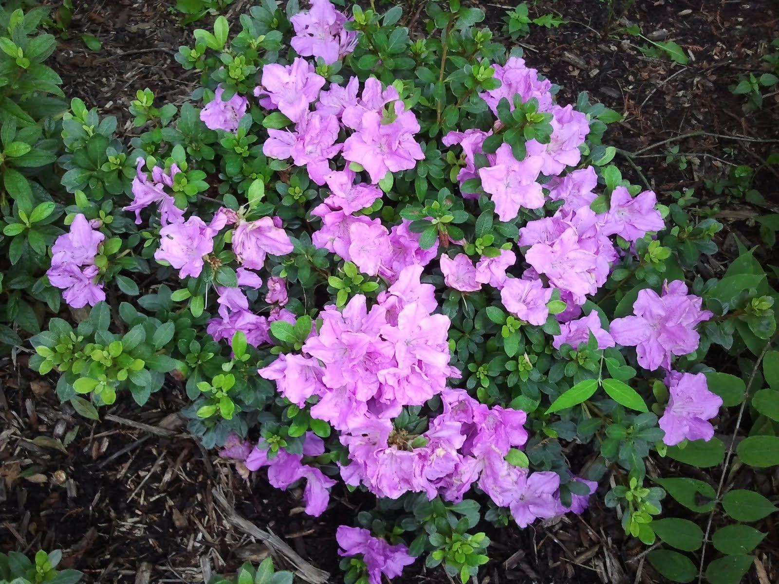 Encore Azalea Autumn Lilac An Evergreen Azalea That Blooms Both Spring And Fall 2 Flowers Are Lilac With Darker Fre Azalea Shrub Shrubs For Sale Azaleas