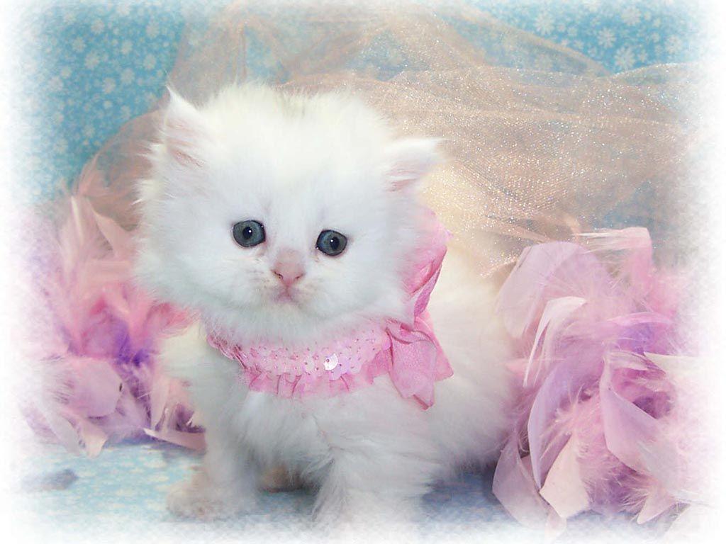Cute Persian Kitty Cute Baby Cats Cute Cat Wallpaper Pretty Cats
