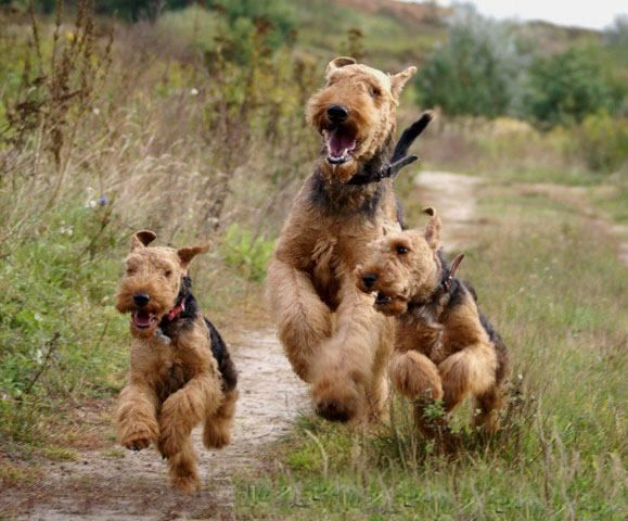 Airedale Terriers Loved And Pinned By Noah S Ark Mobile Vet