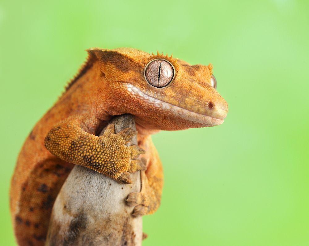 Image result for crested gecko