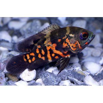 Pet Supplies Pet Products Pet Food Petco Com Oscar Fish Fish Cute Fish