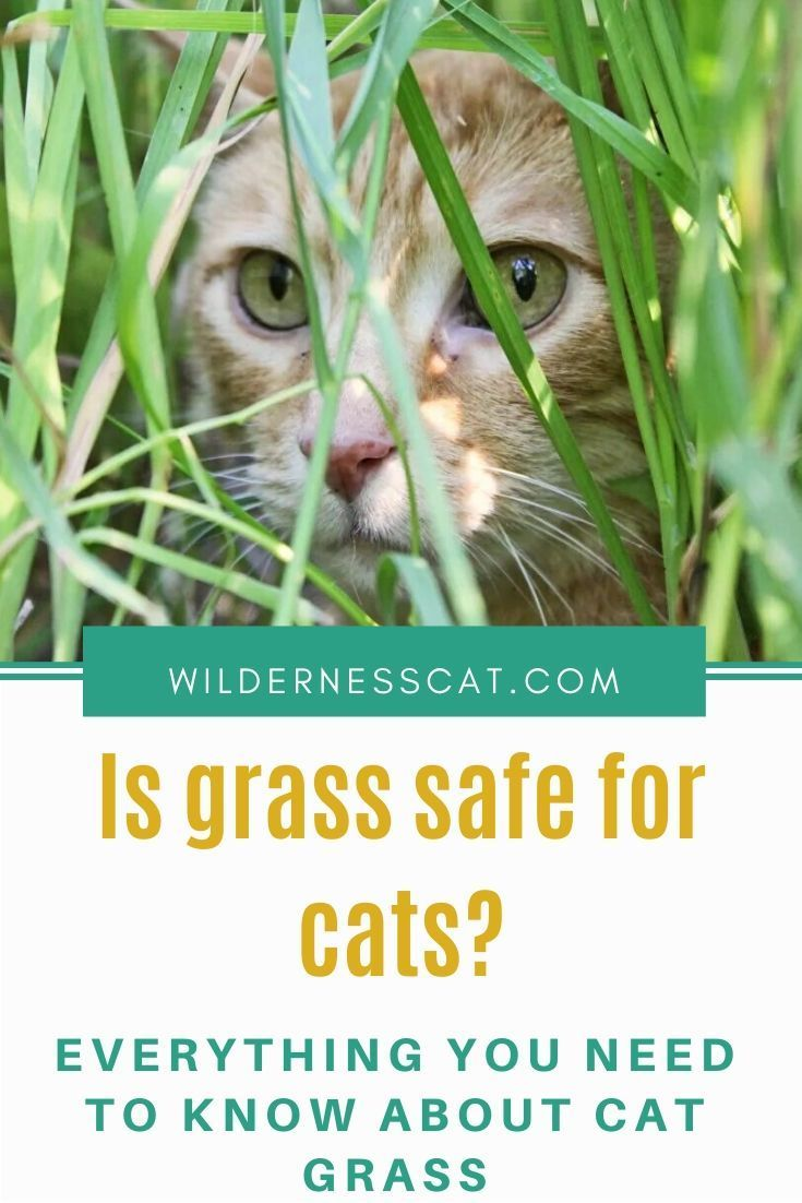 Why Do Cats Eat Grass? What You Need to Know in 2020 Cat