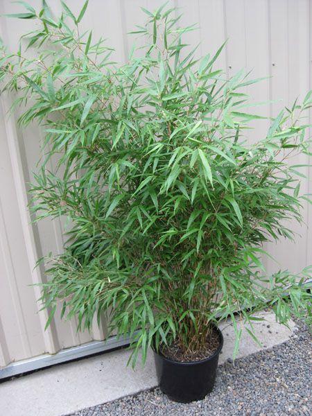 2 Gallon Green Panda, Fargesia Bamboo