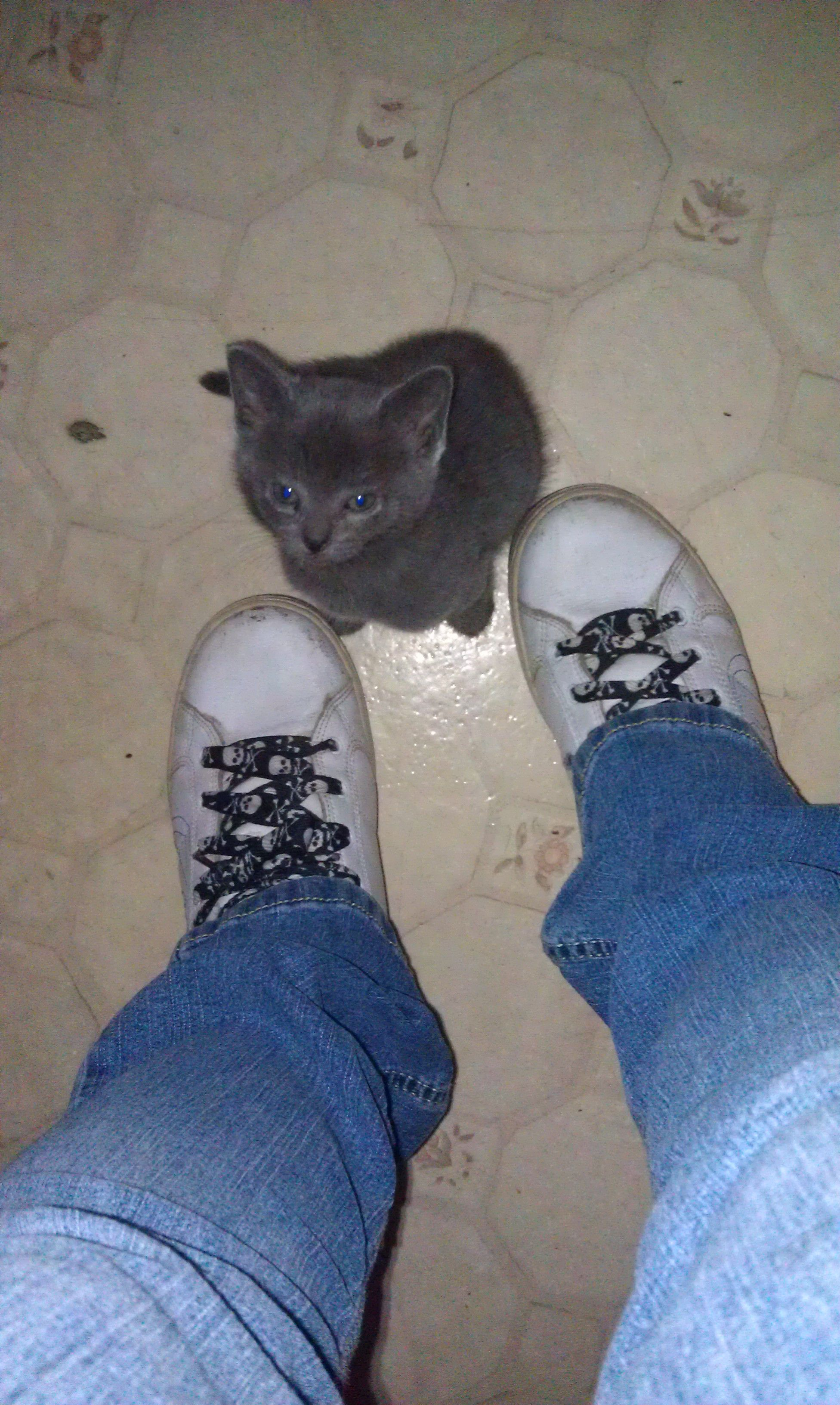 Loki my russian blue rescue kitten on the first day we got him