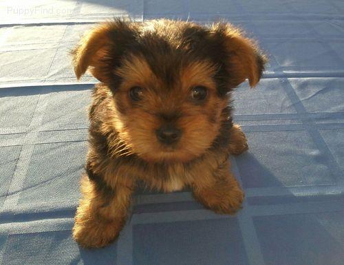 Puppies For Sale At Puppyfindcom Puppies For Sale Pinterest