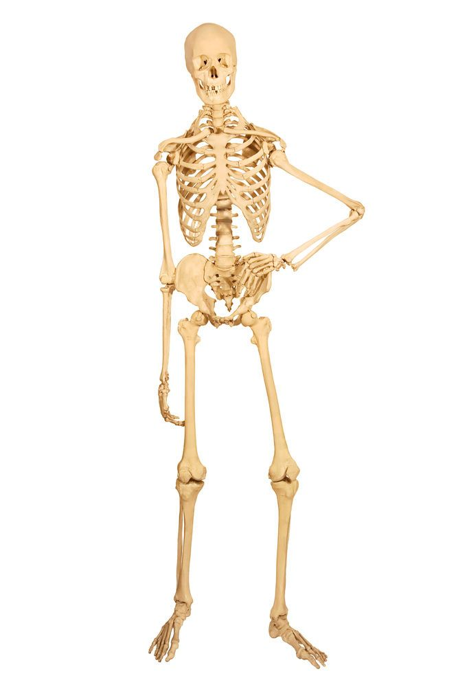 Skeletal System Facts Function Diseases Physical Self