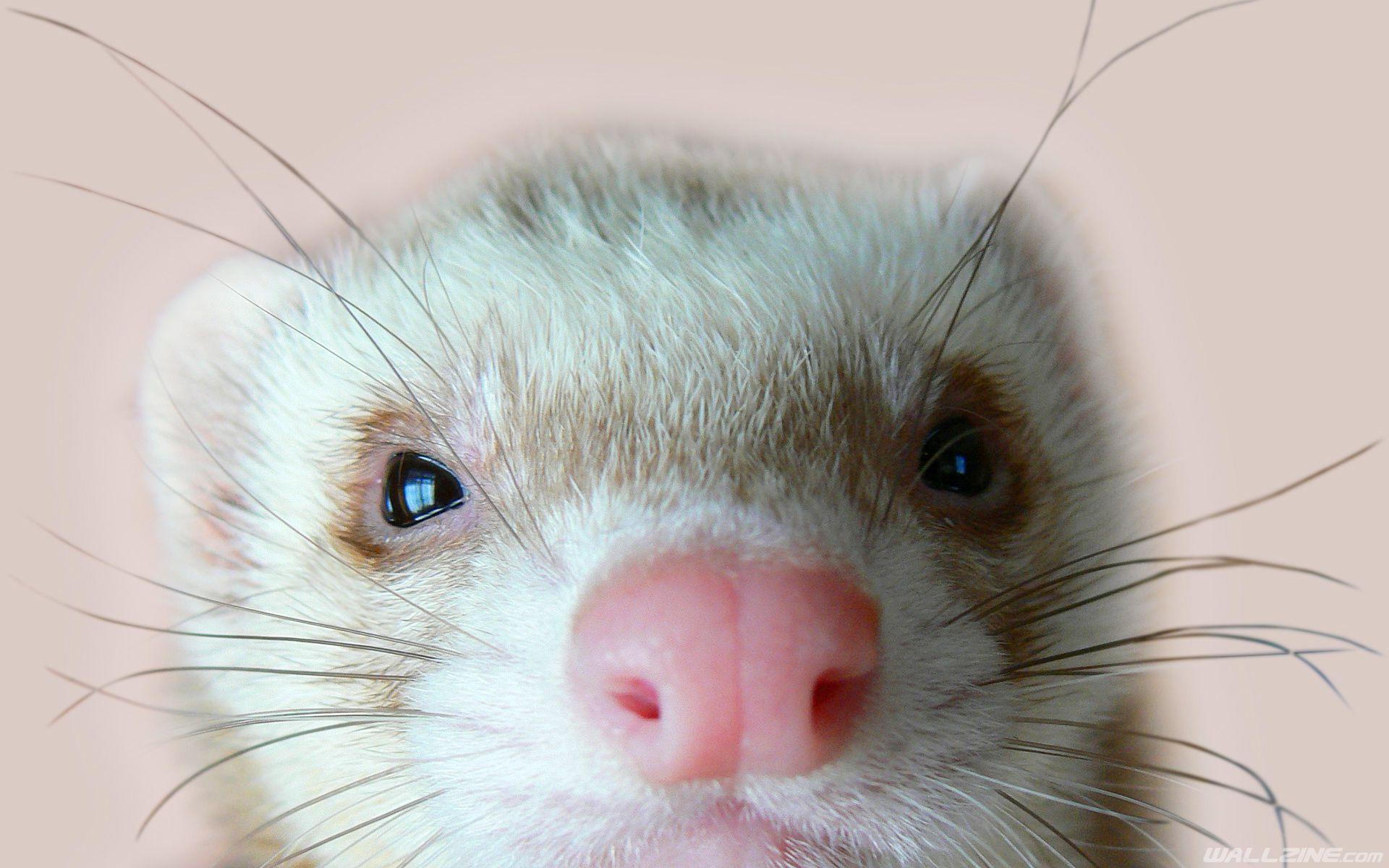 Cute Ferret Hd Desktop Wallpaper Wallzine Com Cute Ferrets Ferret Pet Ferret