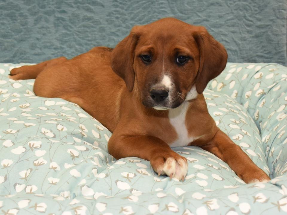 basset hound mix dogs for adoption