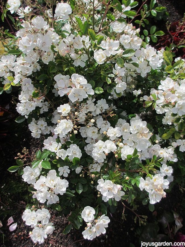 See How Easy It Is To Prune Miniature Roses Roses