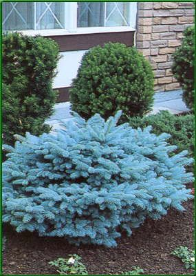 blue spruce coloring pages - photo#40