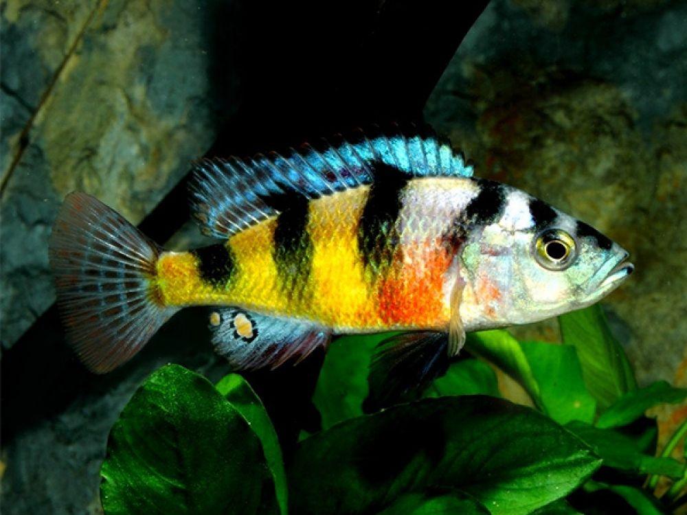 Haplochromis Obliquidens Price 5 41 Gbp Worldwide Shipping Https Www Aquasnack Co Uk Product C African Cichlid Aquarium Tropical Fish Aquarium Cichlids