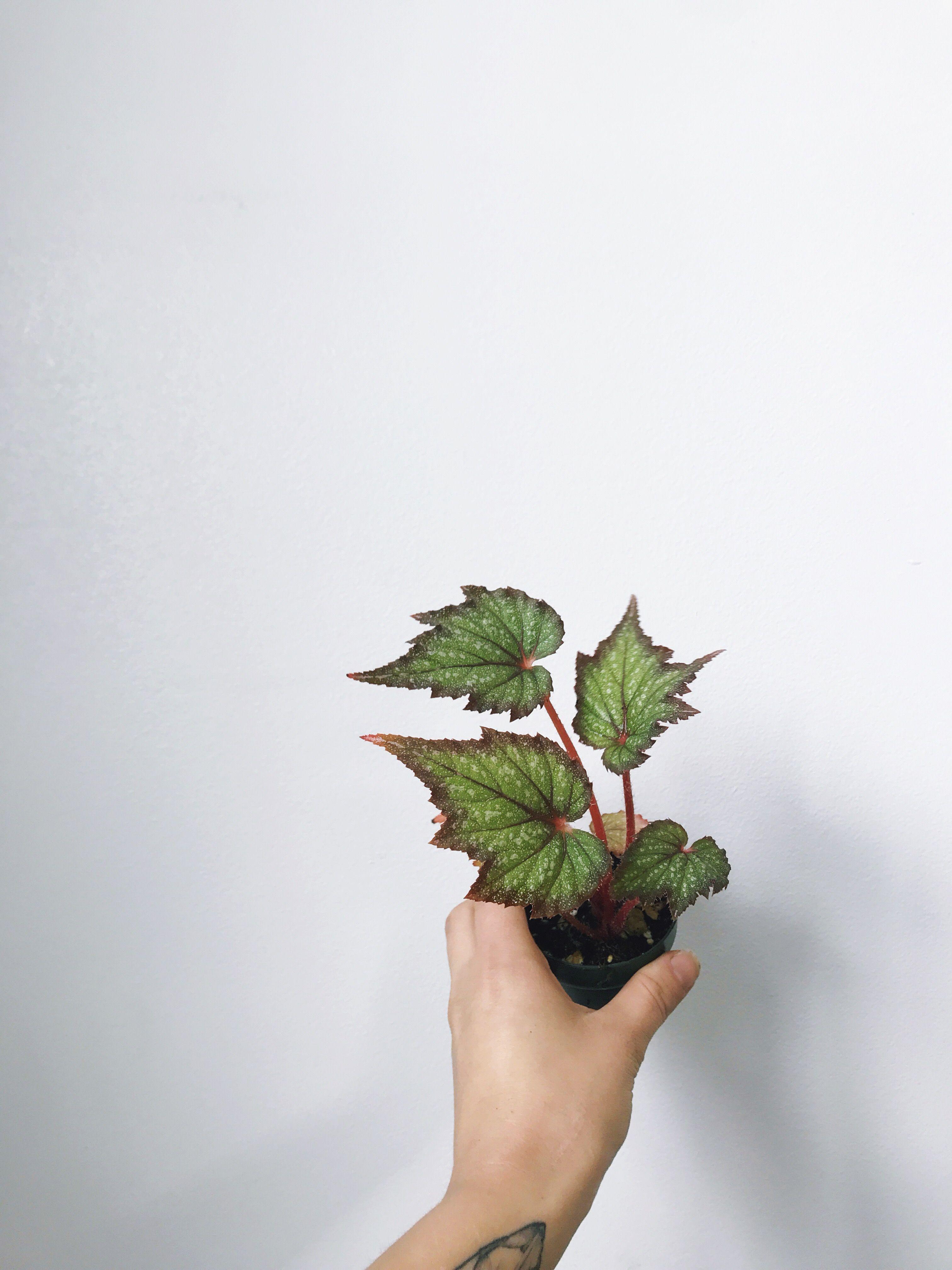 Miniature Rex Begonia Terrarium Houseplant