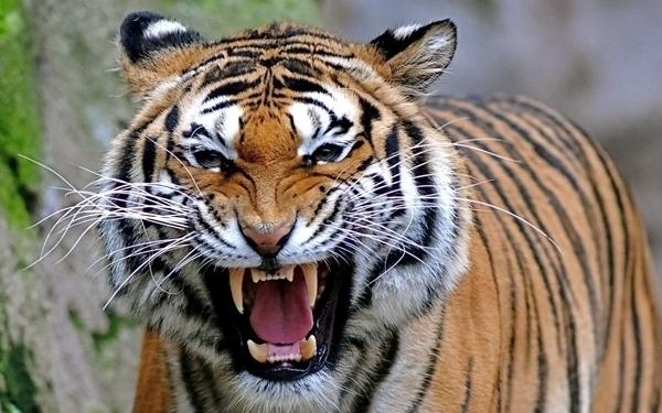 Bengal Tiger1 Png 600 375 Tiger Pictures Angry Tiger Pet Tiger