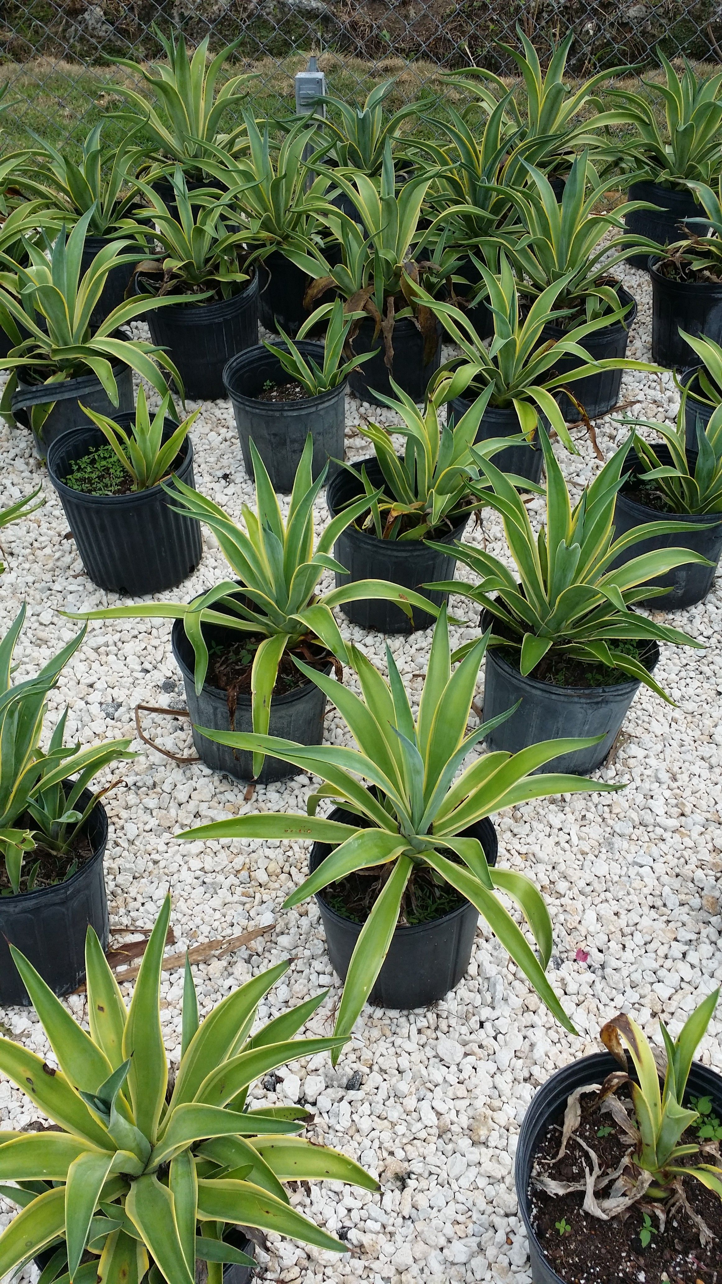 Homestead Whole Tree Nursery And Garden Center 3 Gallon Green Agave Plants