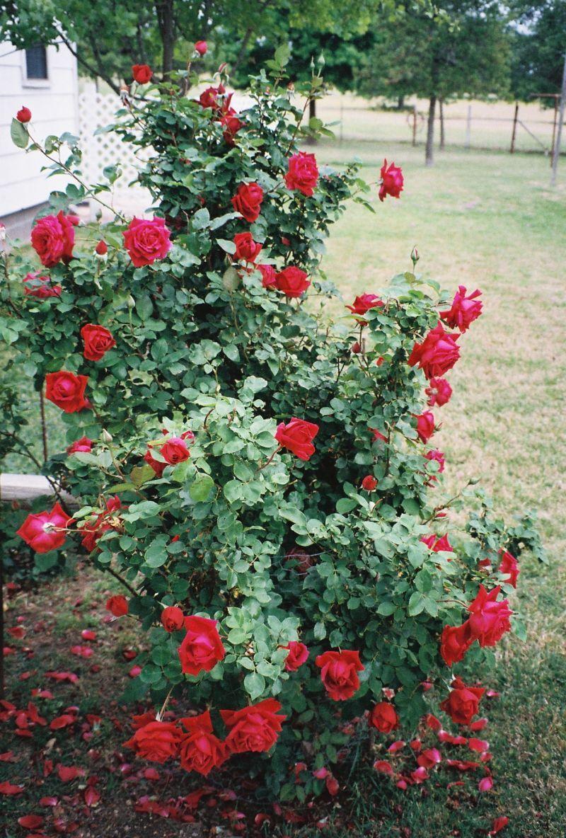 lush landscaping ideas. Rose Garden Landscaping Ideas | Pictures Designs Photos . Lush