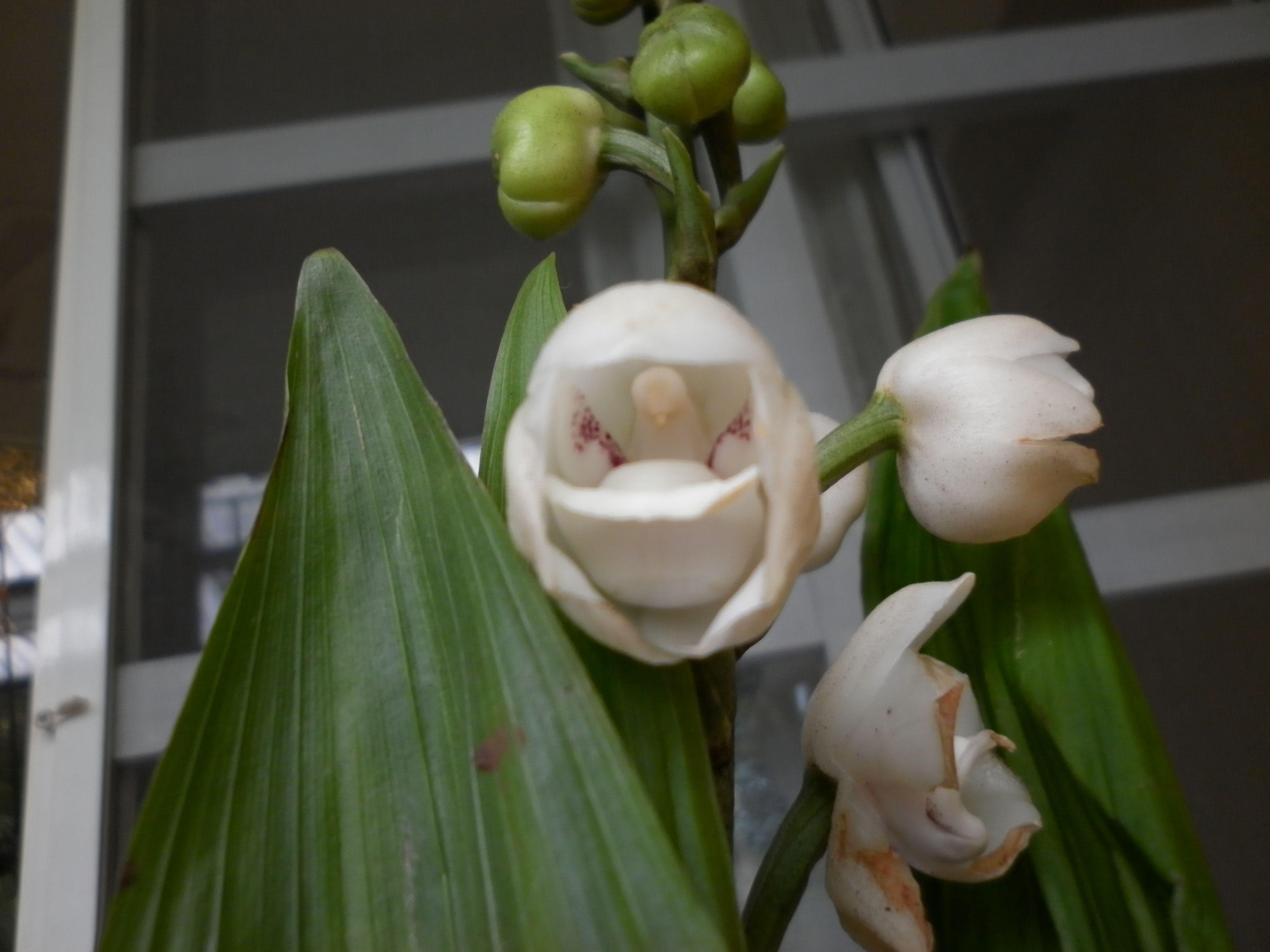 Orquidea Peristeria Elata. Flor Nacional de Panamá, llamada Flor del ...