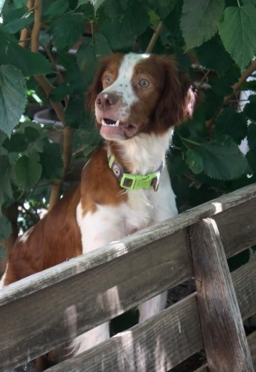 Adopt Tx Brody On Brittany Spaniel Pets Dogs