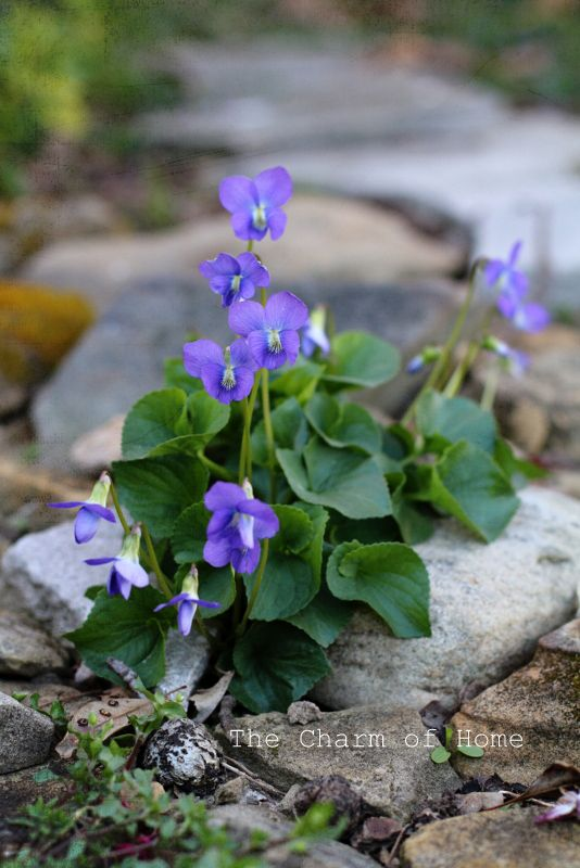 violets in our yard...