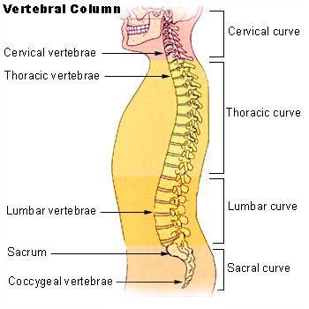 Human vertebral column from the National Cancer Institute SEER ...