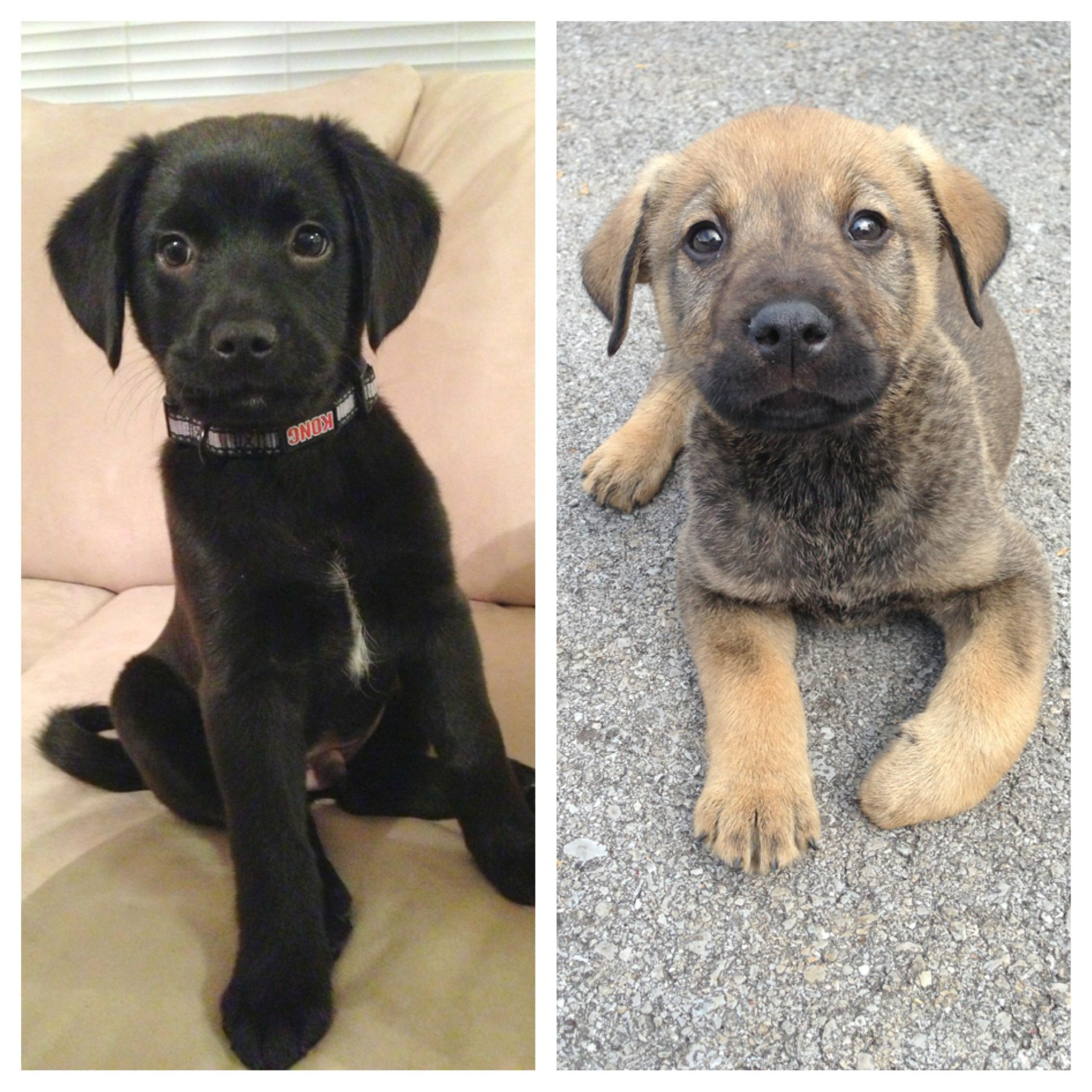 German Shepherd / Lab mix puppies! - Brothers - One Litter ...