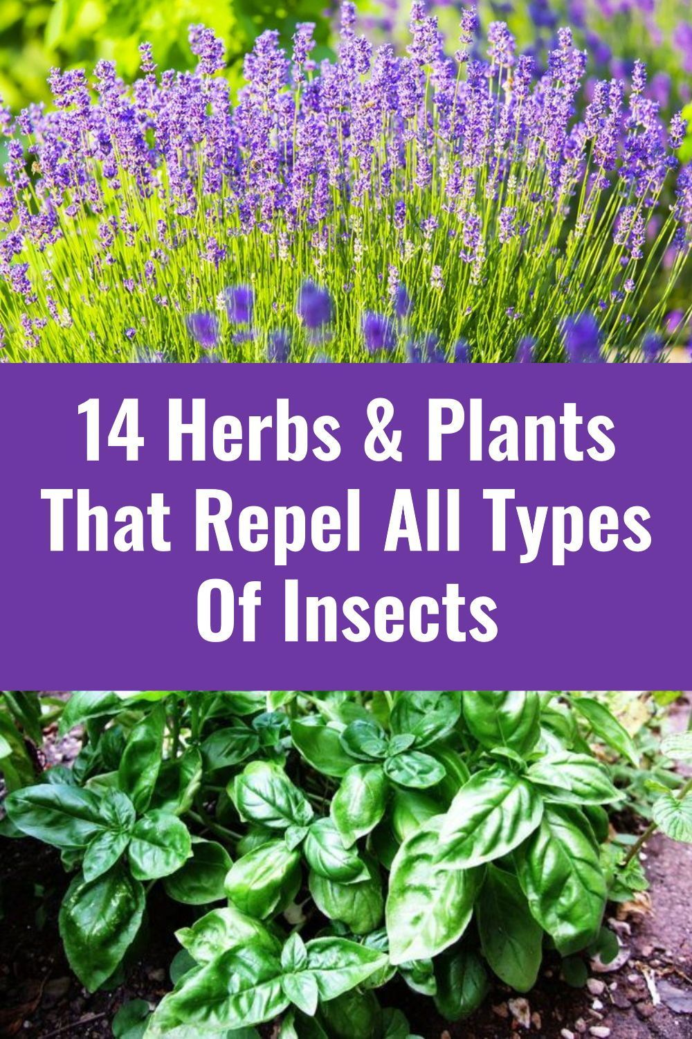 14 Herbs Plants That Repel All Types Of Insects In 2020 Planting Herbs Herbs Plants