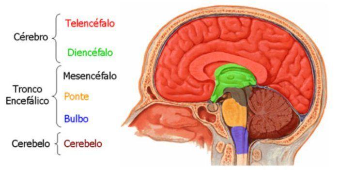 División principal del cerebro en tres partes, que estás a su vez se ...