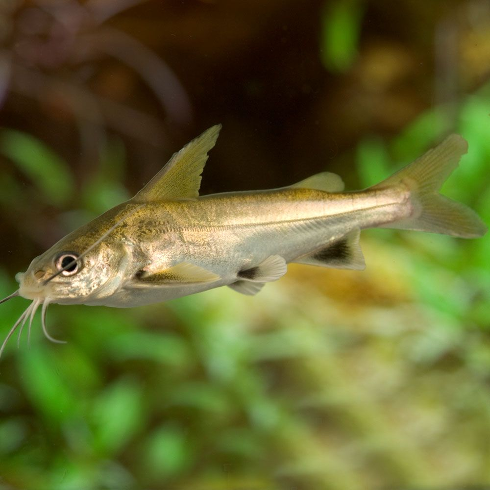 Freshwater aquarium fish for sale online uk - The Active Black Fin Shark Catfish Will Make An Excellent Tank Mate For Semi Aggressive Fish As Well As Fish Which Are Fairly Aggressive And Large By