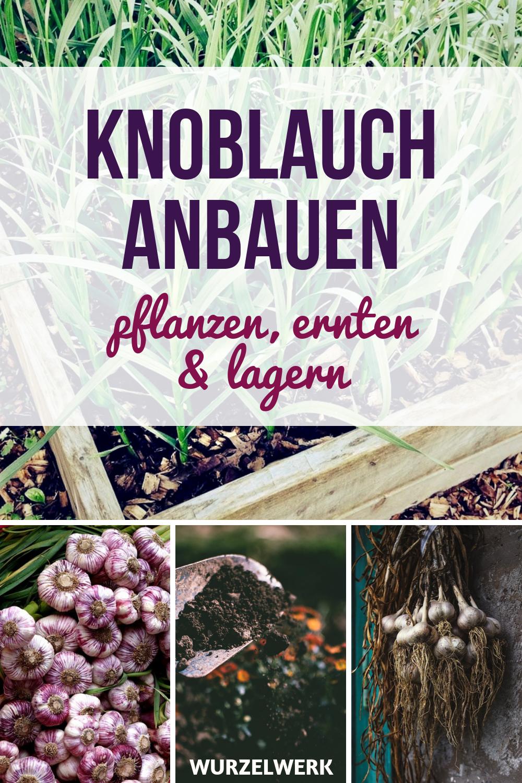 Knoblauch – Wurzelsystem pflanzen, anbauen, ernten und lagern   – Garten-Ideen