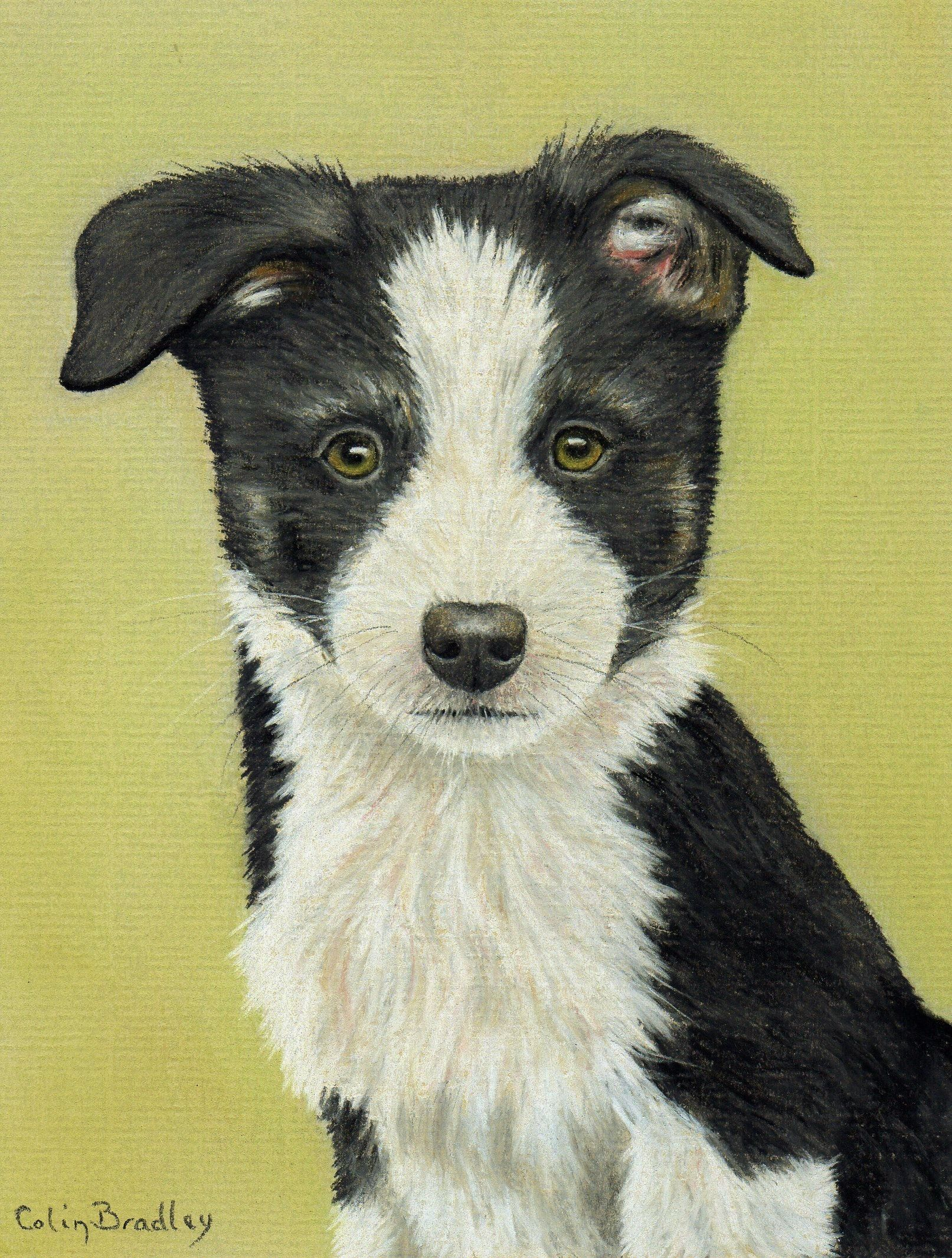 How To Draw A Border Collie Puppy Using Pastel Pencils Animal