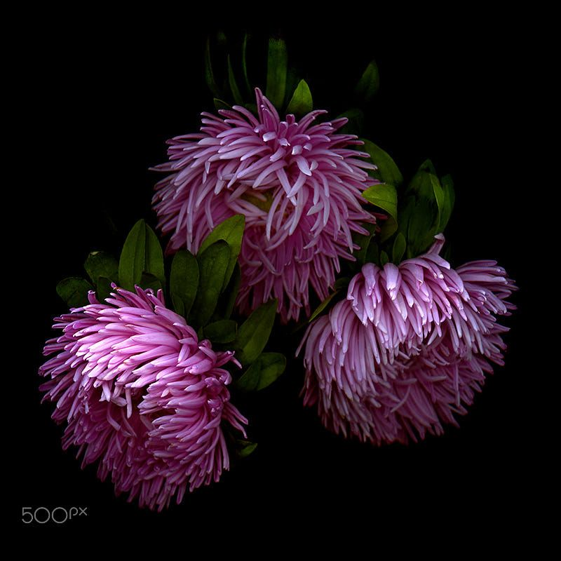 Ending In A Flower Firework Aster By Magda Indigo On 500px Unusual Flowers Beautiful Flowers Macro Photography Flowers