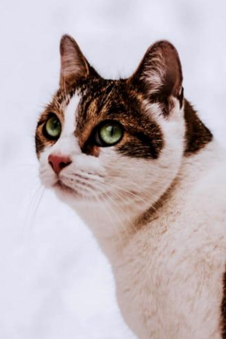 Beautiful japanase cat cat adorable kitten japanesecat