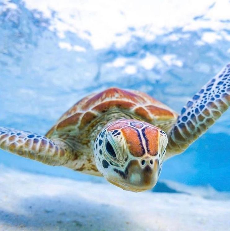 Turtle Love On Beach Love Australia Turtle Love Turtle Baby Sea Turtles