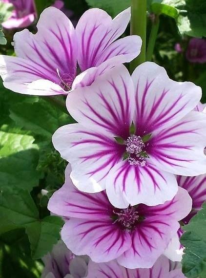 French hollyhock httponfb1mxbl22 color y naturaleza french hollyhock httponfb1mxbl22 purple flowerspretty mightylinksfo