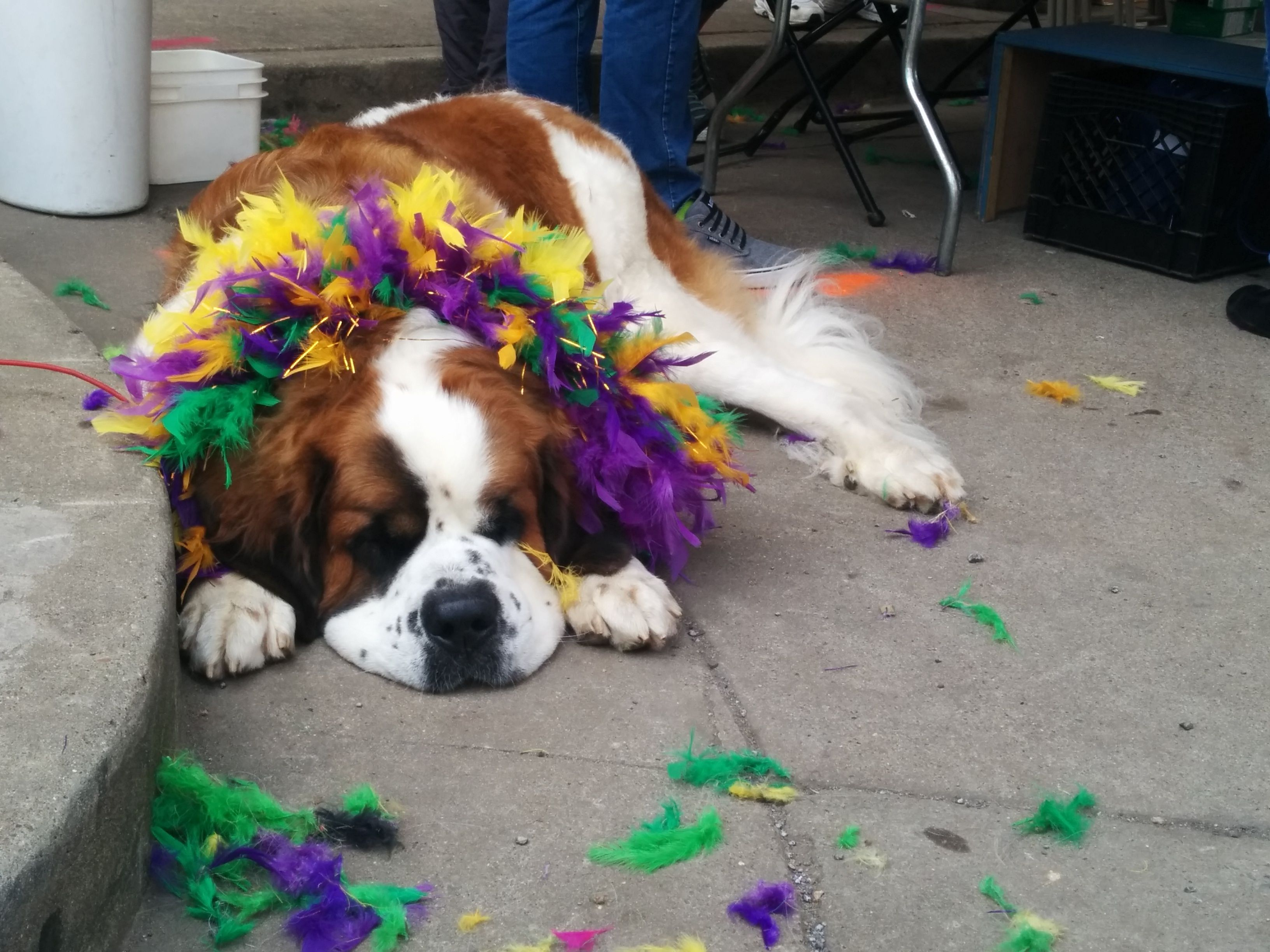 All tuckered out after Mardi Gras