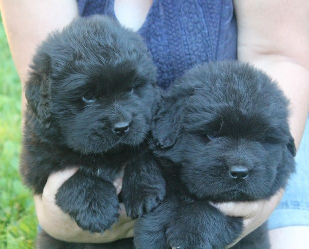 How Cute New Foundland Puppies Maybe One Day I Will Have One