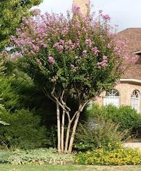 crepe myrtle - Google Search