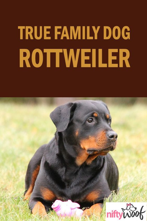 Are Rottweilers A True Family Dog Dogs Dog Puppy Puppies