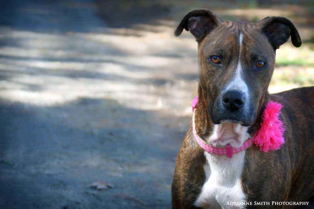 Adopt Kalila On Plott Hound Adoption Dogs