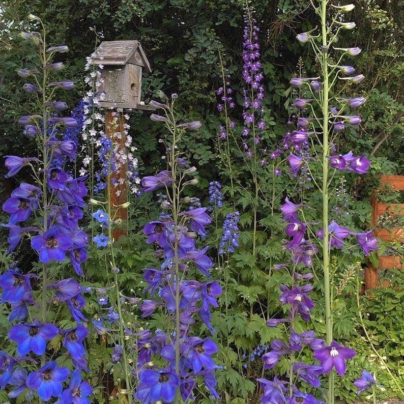 Delphinium mix flower seeds delphinium seeds purple and