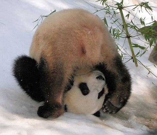 Panda doing a belly rollare we having fun yet tjn natures panda doing a belly rollare we having fun yet voltagebd Image collections