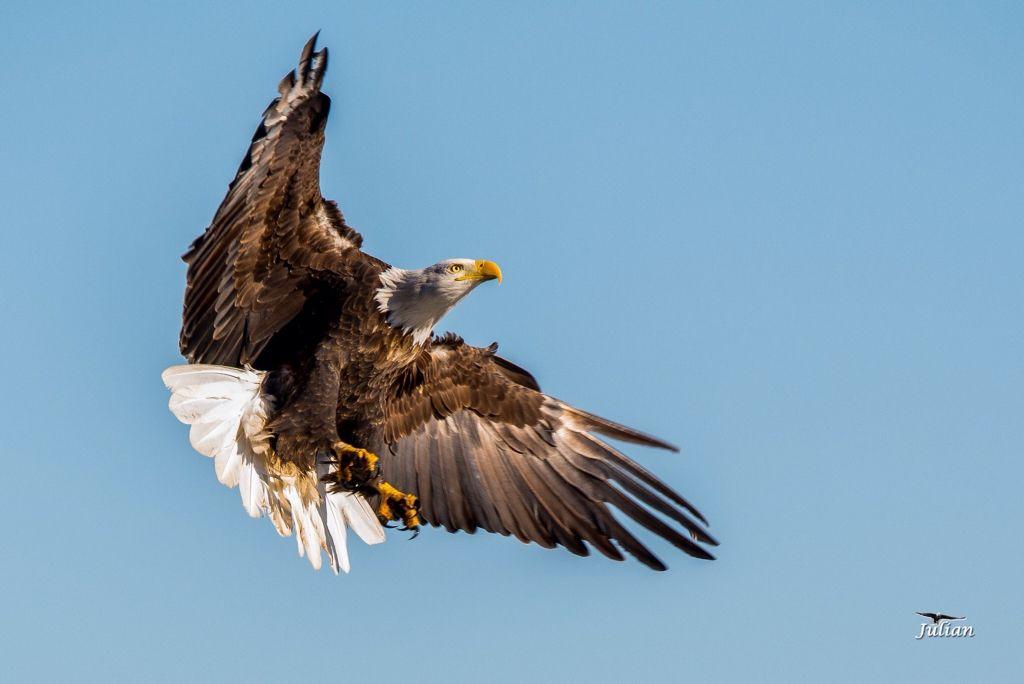 Bald eagle in Nebraska by Paul Julian.