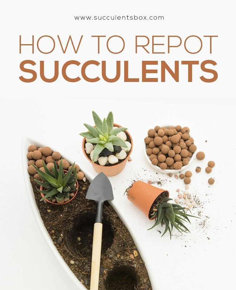 How to repot succulents 3 important steps you should know