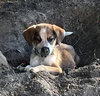 Pictures Of Edelbrock A Beagle For Adoption In West Bloomfield Mi