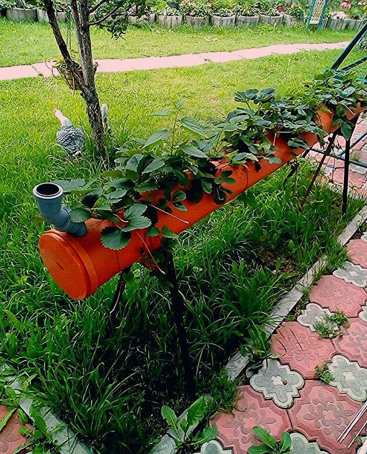 Photo of Erdbeeren im Rohr pflanzen – Bauanleitung für ein Erdbeerrohr – Neueste Dekoration
