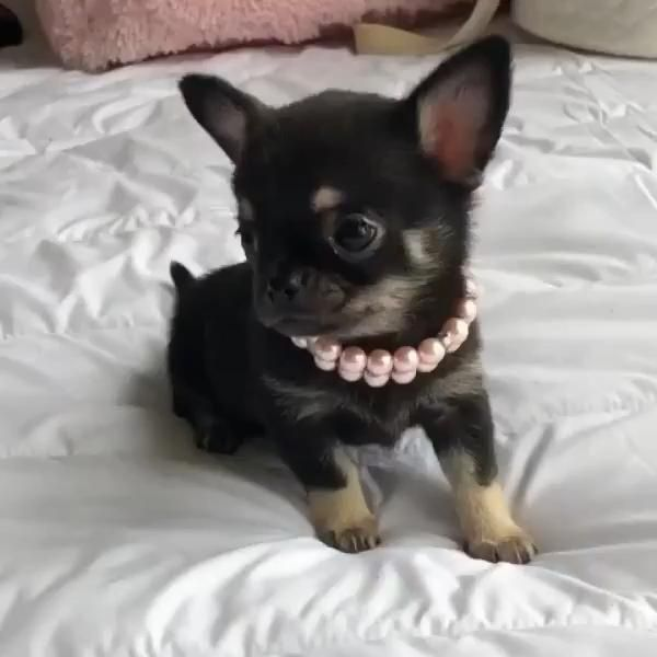Cutest Chihuahua Puppies 🐶
