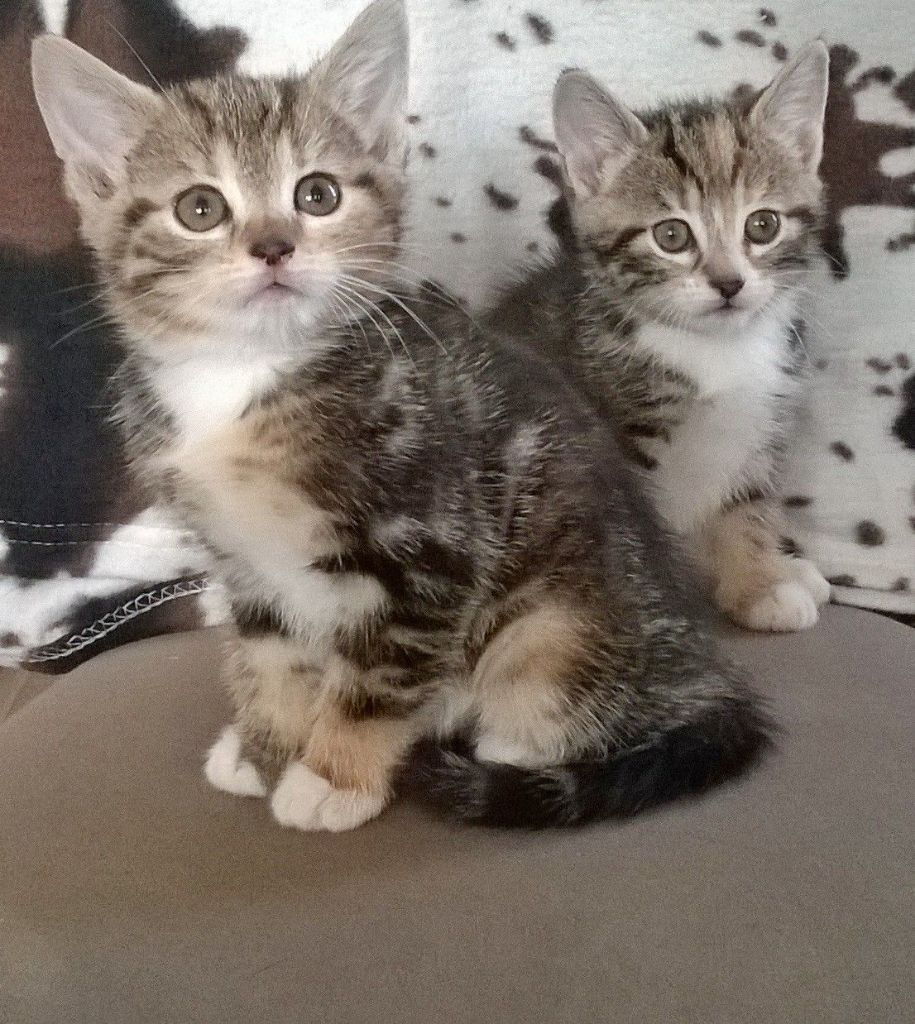 Siberian Forest Kittens For Sale Hindley Green Manchester