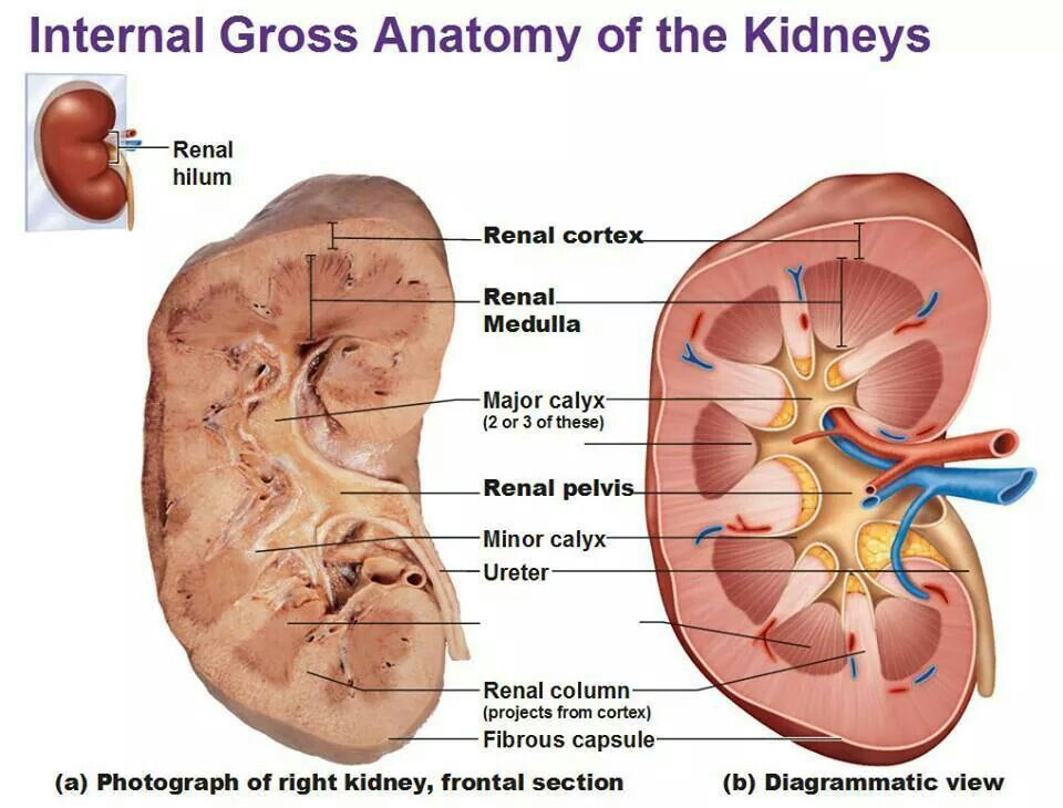 Internal Gross Anatomy Of The Kidney Sectional View Anatomy Note